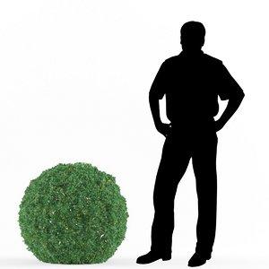 3D buxus bush boxwood