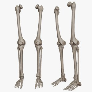 lower limb science anatomy 3D model