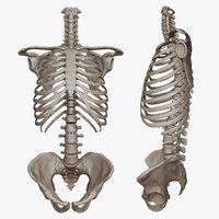3D skeletal torso model
