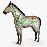 3D skin horse skeleton lymphatic model