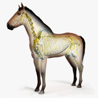 skin horse skeleton nerves 3D model