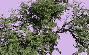 3D acacia wattles tree plant