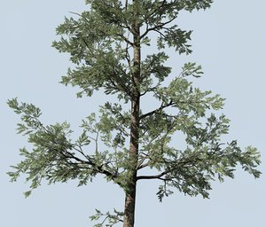 3D pine conifer tree model
