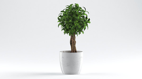 ficus babilatos 3D model