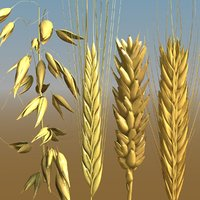 grains wheat oat 3D model