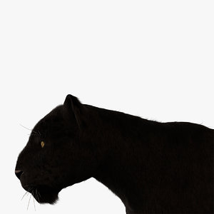 vary black leopard fur model