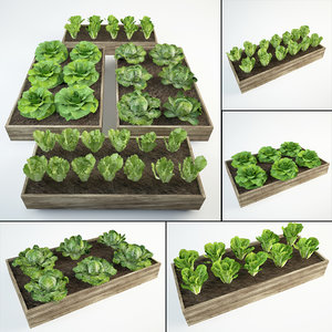 36 lettuce lactuca 3D