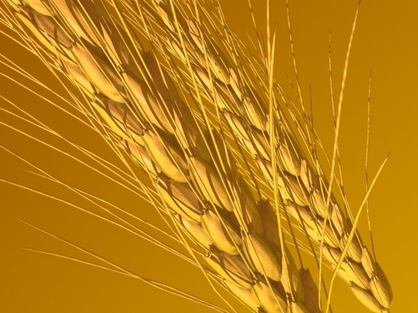 wheat ears 3d model