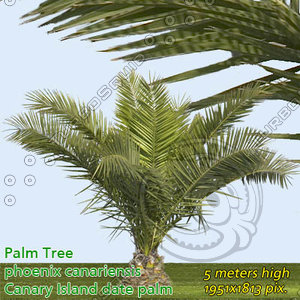 Canary Date Palm 2m - High Resolution