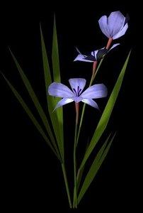 flower babiana stricta 3d model