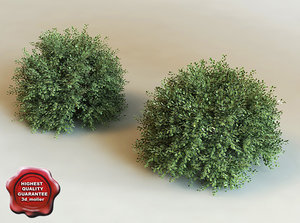 3d model ilex crenata modelled
