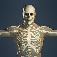 3d human skeleton male body model