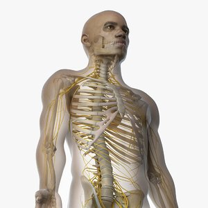 3D skin african male skeleton model
