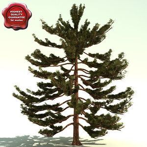 pinus parviflora japanese white pine max