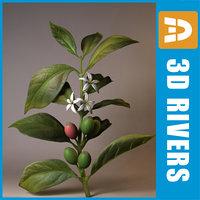 coffee plant 3d model