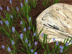 3d model muscari grape hyacinth