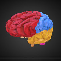 art medical brain color 3D