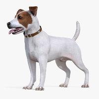 white jack russell terrier 3D model
