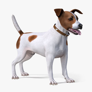 jack russell terrier spotted 3D model