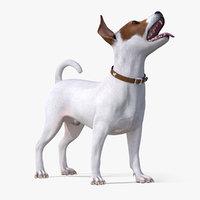 jack russell terrier white 3D model