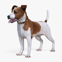 Spotted Jack Russell Terrier Attention Pose