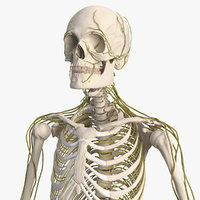 male skeleton nervous 3D model