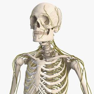 male skeleton nervous 3D model