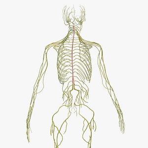 3D male nervous body