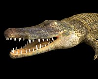 crocodile rigged 3D model
