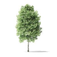 3D red alder tree 4m model