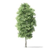 red alder tree 5 3D model