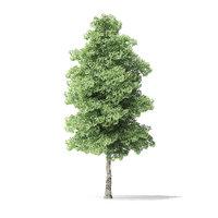 3D red alder tree 7 model