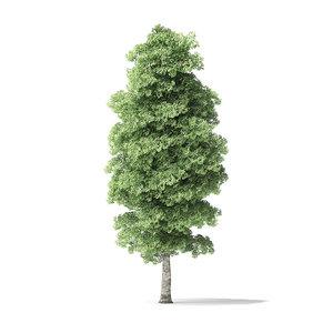red alder tree 13m 3D