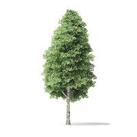 red alder tree 16m model