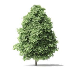 3D red alder tree 11 model