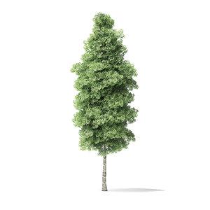 3D red alder tree 14