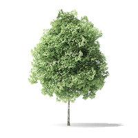 3D red alder tree 3 model