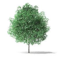 green ash tree 2 3D