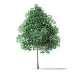 3D model green ash tree 6m
