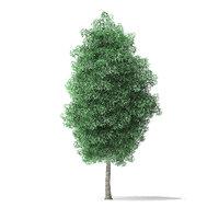 3D green ash tree 7m