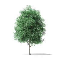 green ash tree 5 3D