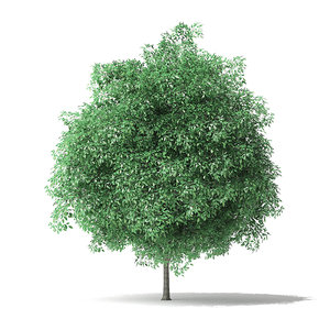 3D green ash tree 4 model