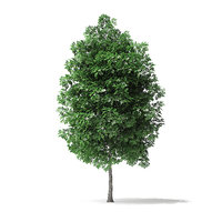 3D white ash tree 3 model