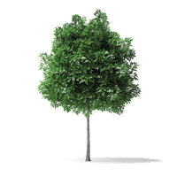 white ash tree 3m 3D