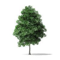 white ash tree 4 3D