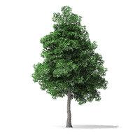 3D model white ash tree 6m
