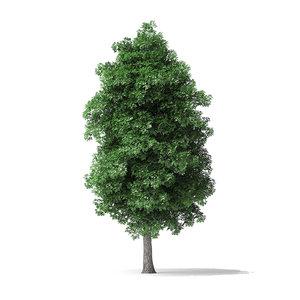 white ash tree 7 3D model