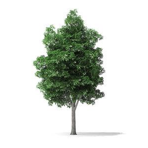 3D white ash tree 7 model