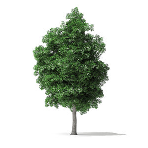 3D white ash tree 9m model