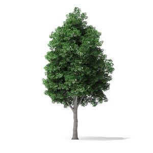 3D white ash tree 9 model